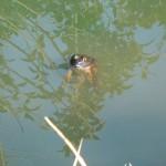 飯野陣屋の濠の蛙
