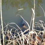 飯野陣屋濠跡の鯉