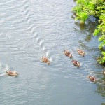 利根運河の水鳥