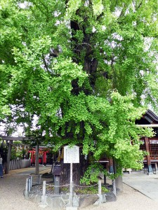 白山神社の銀杏